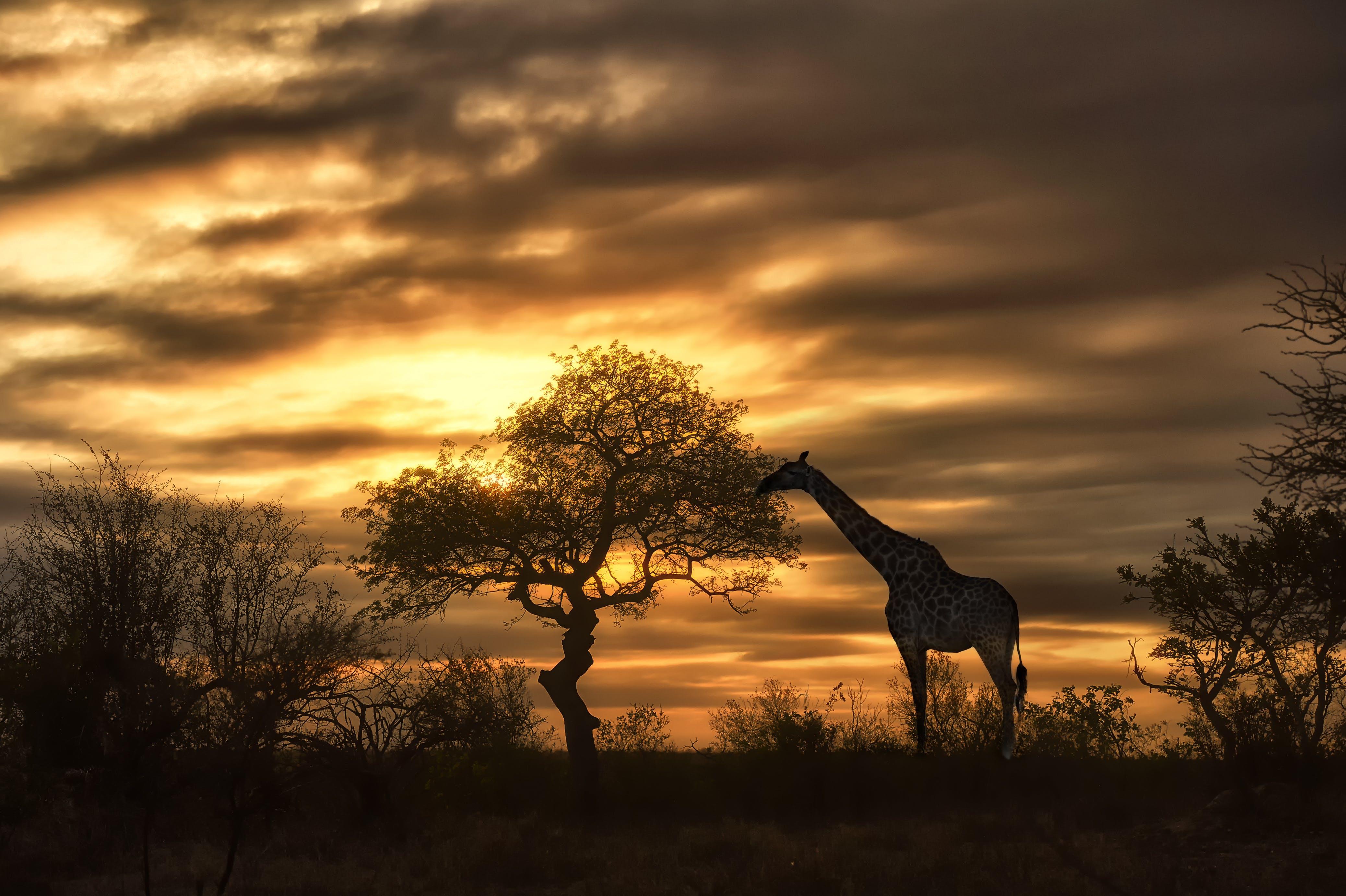 Giraffe at sunset during a safari
