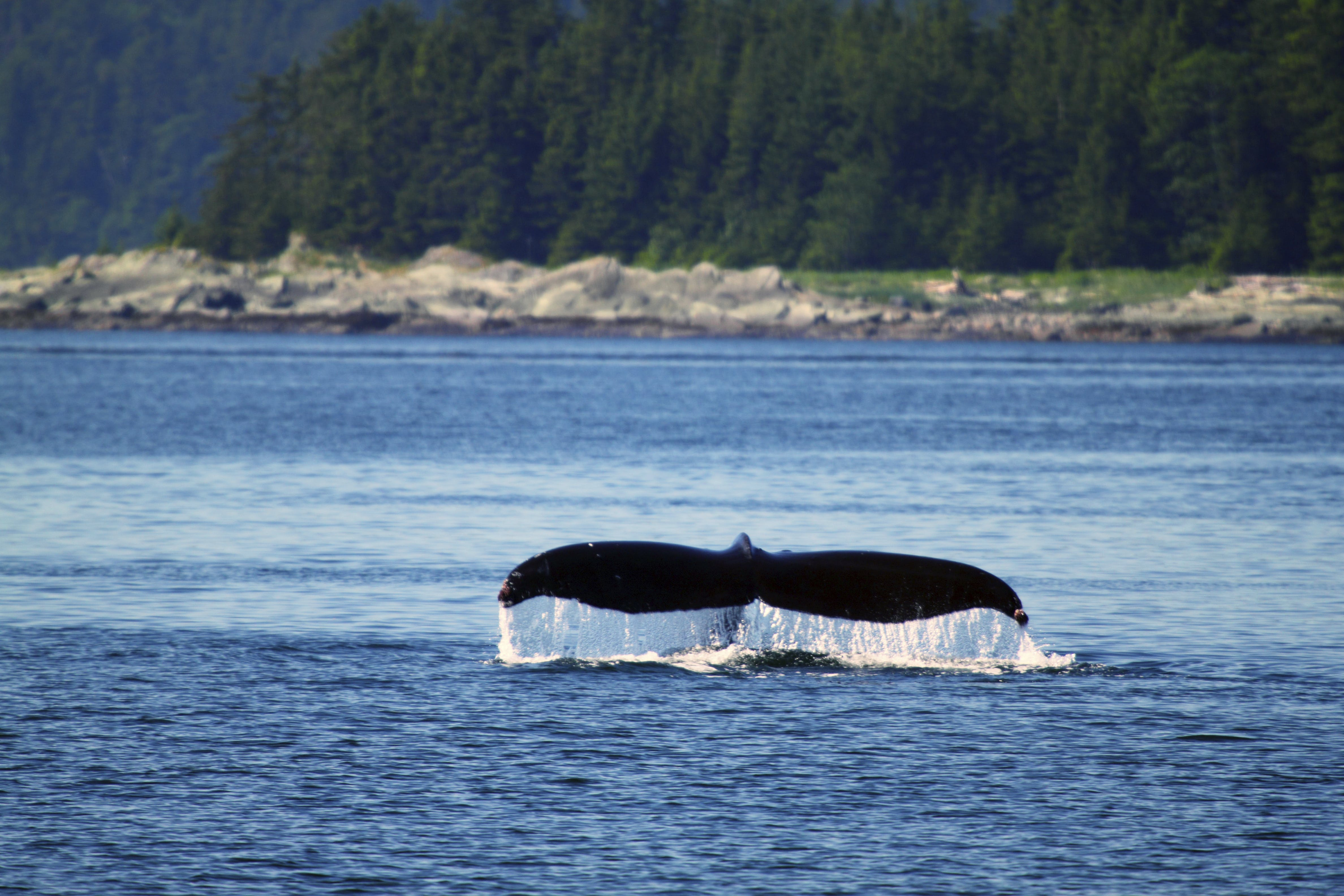 Alaska whales breaching