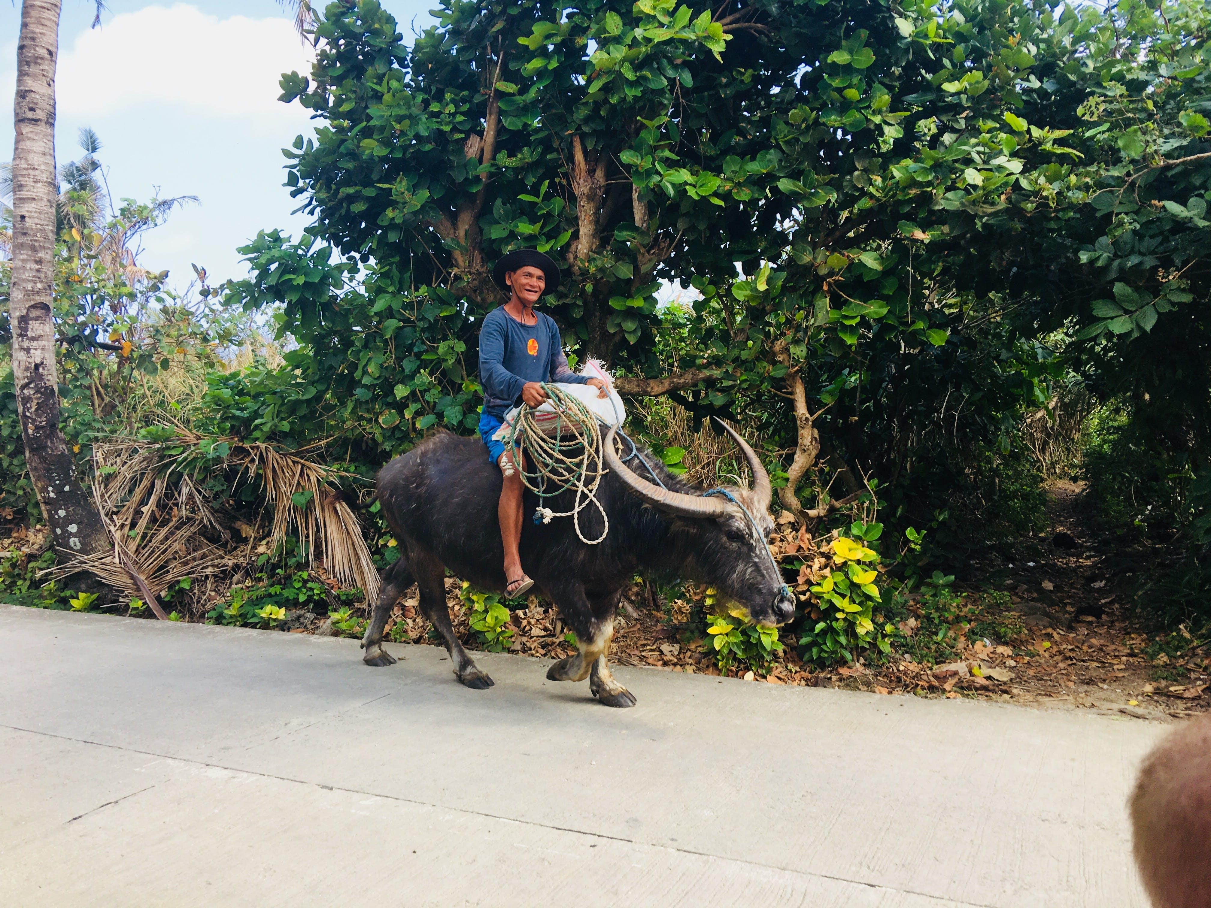 Local villager riding an oxen