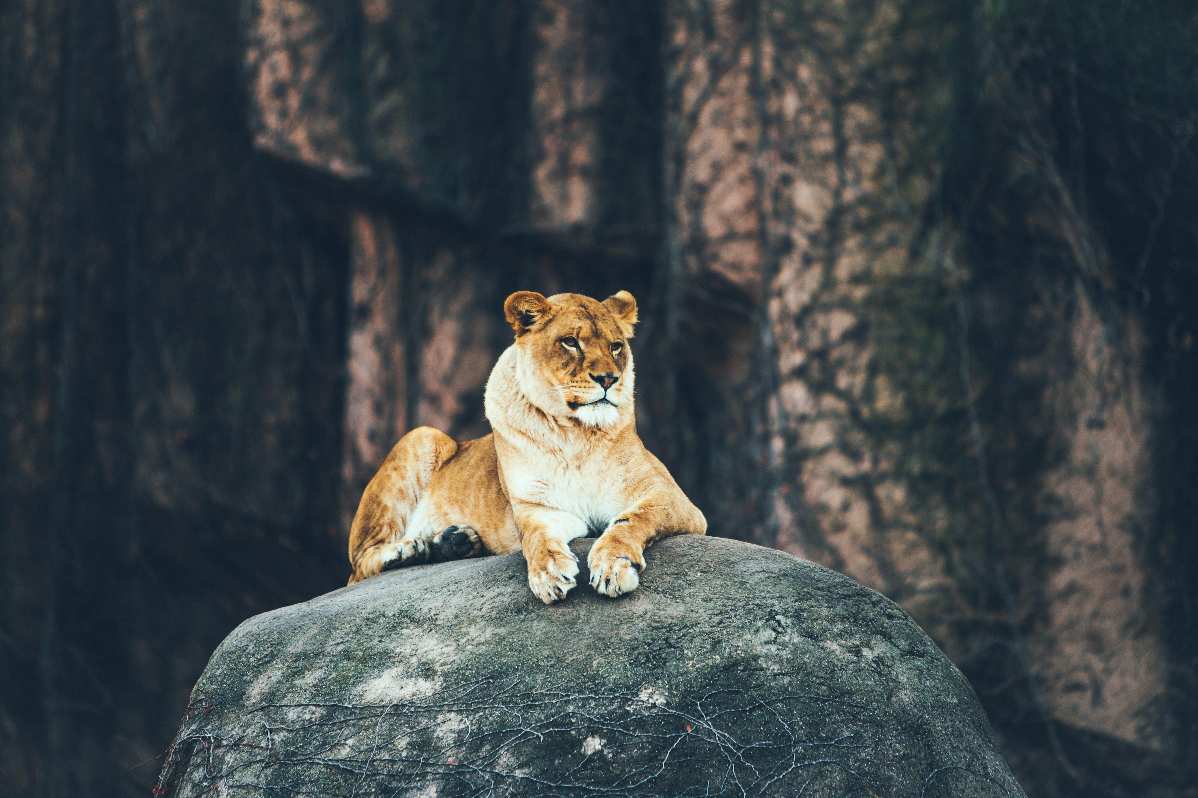 Lioness watches over her pride in a safari preserve.