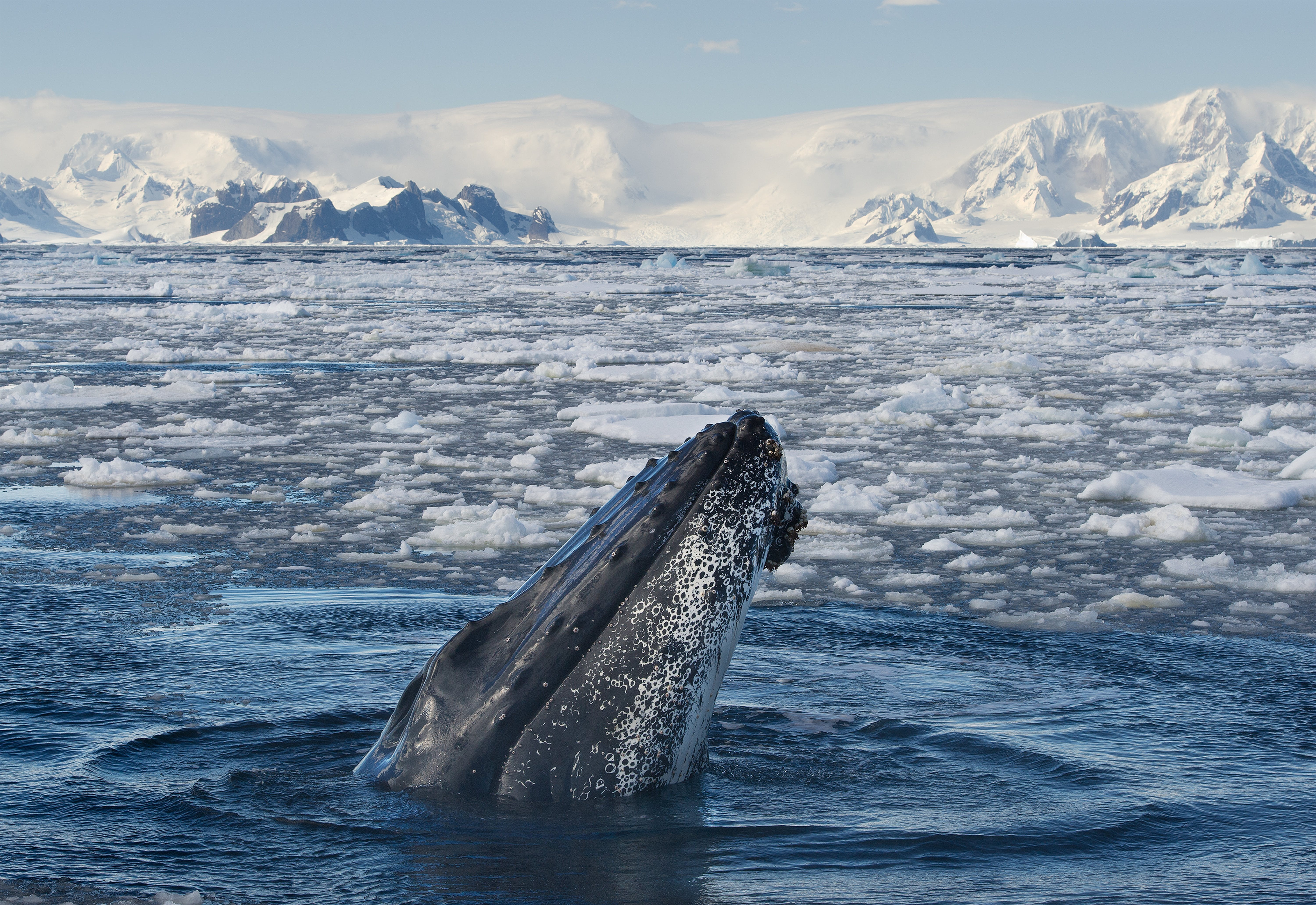 Whales make frequent appearances on polar expeditions.